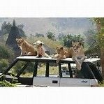 Image result for cheetah in land rover