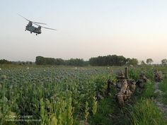 Soldiers of 1st Battalion the Coldstream Guards are pictured in a poppy field waiting for a Chinook Helicopter to extract them, following operations in Afghanistan.