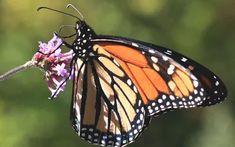 Save the Butterflies With DIY Milkweed Seed Bombs Butterfly Food, Butterfly Feeder, Monarch Butterfly, Lawn And Garden, Garden Tips, Garden Ideas, Organic Gardening, Urban Gardening, Container Gardening