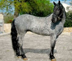 Reverse Dapples Carletto, Murgese up-and-coming dressage star, a rare blue roan. Most Beautiful Horses, Pretty Horses, Horse Love, Animals Beautiful, Beautiful Creatures, Black Horses, Wild Horses, Clydesdale Horses For Sale, Horse Coat Colors