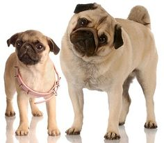 Pug Temperament  What's Good About 'Em,  What's Bad About 'Em