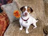 Image detail for -... Apple Background Wallpapers 'Funny Little Dog Jack Russell Terrier