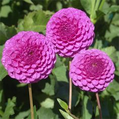 """Dahlia 'Mary Munns' - This variety was introduced in 1928 and produces an abundance of 2"""" pom-pom type blooms. An excellent cut flower that combines well with 'Orchid Lace' dahlia. Height 3'."""