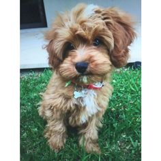 He's my baby #Cavoodle #Puppy
