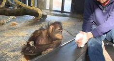 Macaco Tem Reação Adorável Depois De Assistir a Um Truque De Magia