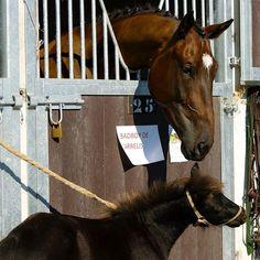 Cheval Horse Pferd Poney Pony
