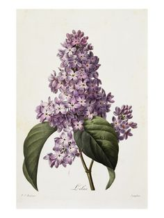 lilacs ~ by Pierre Joseph Redoute... I have this photo hanging in my dining room!