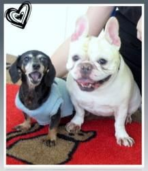Millie is an adoptable French Bulldog Dog in Powder Springs, GA. These girls came from a very sad situation. First their Daddy passed (we never asked what he died of). Then they lost their house in fo...