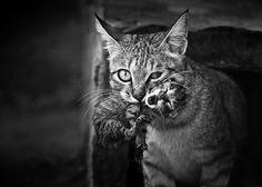 Imagens em preto e branco revelam a vida misteriosa dos gatos
