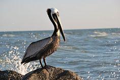 Pelican and ocean spray...Gulf of Mexico, Florida