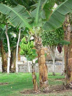 Plante exotique à la maison – tout savoir sur les bananiers