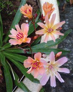 """Fersken/Aprikosfarge er også en av mine yndlinger - her en nydelig Lewisia før den er fullt utsprunget-da """"falmer"""" fargen litt og blir lysere / Peach/Apricot is one of my favorite colors-here Lewisia before fully blooming,then the flowers are lighter and a bit """"faded"""":)4.6.14/IJ"""