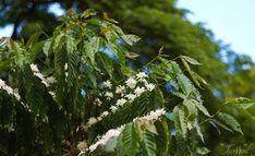 """Kona Snow"" 100% Kona Cofee blossoms Kona Coffee, Fruit Trees, Snorkeling, Blossoms, Acre, Cruise, Snow, Plants, Outdoor"