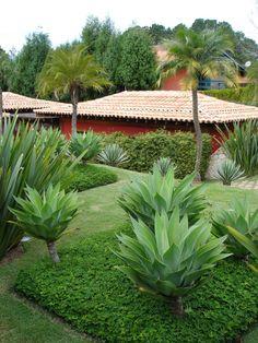 Jardim de Agave attenuata. https://shop.cacti.com/landscape-succulents/agave-attenuata/ #SerraGardens_agave_attenuata #Succulents_tropical_landscape