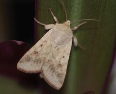 Male Corn Earworm Moths, Helicoverpa Zea,  Flies Too Soon During Courtship Race