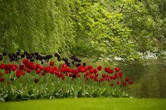 #tulips in #amsterdam at the #keukenhof #garden  #pretty #amazing #colourful #nature #greatjob #travelphotography #travel #canon by berny.lobo