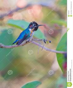 Male Bee Hummingbird On A Branch - Download From Over 35 Million High Quality Stock Photos, Images, Vectors. Sign up for FREE today. Image: 40050627