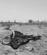 FROM DROUGHT TO DESTINY: 'Healing wounds: Sick birds and starving cattle', ILRI News Blog, 8 Feb 2006
