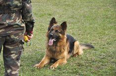 Forse vi siete chiesti qualche volta in che modo vengono addestrati i cani poliziotto. Continuate a leggere quest'articolo per scoprirlo.