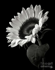 Flower Poster featuring the photograph Sunflower In Black And White by Endre Balogh