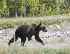 a Grizzly Bear missing its right front paw. Photo taken last summer near the entrance to Denali Park. FDNM