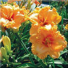 HEAVEN'S GATEKEEPER           Pete Harry Daylilies... Daylilies Of Distinction