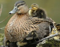 This mother duck just became a world record holder! She has 24 (beats the old record of 22) newborn ducklings and lives in Arundel, West Sussex, England.