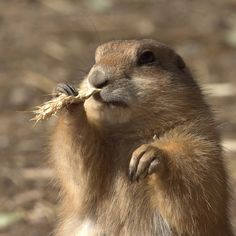 "~ Prairie Dog - ""Flossing"" -  Photographer: Viktor Kiryushko ~"