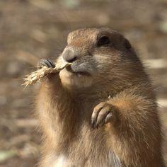 "~ Prairie Dog - ""Flossing"" -  Photographer: Viktor Kiryushko ~"