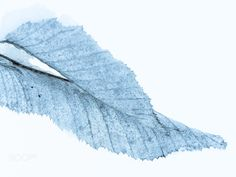 Blue Leaf - B&W converted leaf abstraction of a winter shoot. Hope you enjoy.