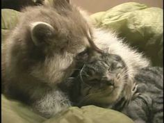 Cute video of Banjo the raccoon and Buddy the cat cuddling and playing.  Raccoon can't get enough of the object of his loooove.