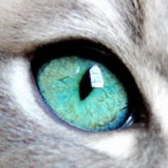Ragdoll cat breeder in Charlotte, NC