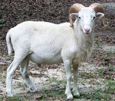 Texas Dall hair-sheep breed // you don't have to shear a hair-sheep and they bread out of season so they are better than wool-sheep when raising for their meat.