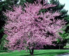 Eastern Redbud | avoid planting in areas that are prone to flooding or that collect standing water | dig hole at least 6-8 feet from existing structures and about 3 feet from fences | grows 20-30' tall and 15-20' wide
