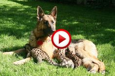 Tiger Cub Playing With A Dog #animals, #cats, #dogs, #funny, #videos, #pinsland, https://apps.facebook.com/yangutu