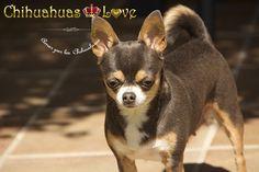 Chihuahuas Love - Blog Raza Chihuahua. Hablar y Escribir de Mis Pasiones en…