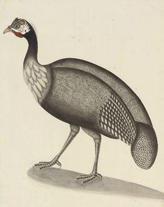 Patna School, circa 1820-1830   A Helmeted Guinea Fowl   inscription with the Persian numeral '4' (upper right) and with further inscription 'a Napaul Pheasant' (lower centre)  pencil, pen and ink and watercolour with touches of white bodycolour   16¼ x 11 3/8 in. (41.3 x 29 cm.)   early 19th Century