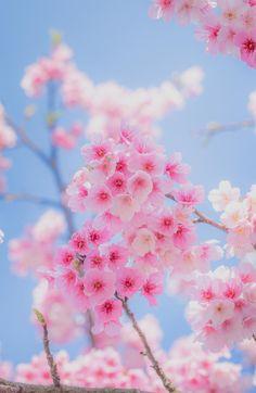 """visualechoess: """"Sakura - (via)"""""""