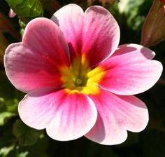 Primrose (for my wrist tattoo) This is the February birth flower for my brother. It means I can't live without you.
