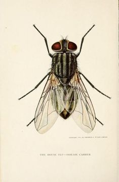 """nemfrog: """"Frontispiece. The house fly, disease carrier, an account of its dangerous activities and of the means of destroying it. 1911. """""""