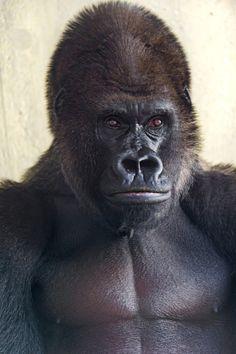 Serious gorilla (by Tambako the Jaguar)