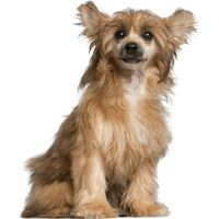 Top 10 hypoallergenic small dogs