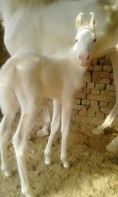 Marwari horse of India foal.  Love the ears on these horses.  Too bad they are endangered.