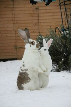 Bunnies #Cottonball<3