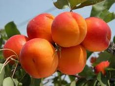 kajszibarack – Google Kereső Eat Fruit, Fruit Art, Fruit And Veg, Fruits And Vegetables, Fresh Fruit, Grow Organic, Organic Farming, Apricot Tree, Fruit Packaging