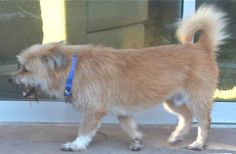 Dawson is the sweetest and a little shy, shaggy terrier mix, he is approx 26 lbs and 2 yrs old, he is a very well behaved and quiet dog, gets along well with the other rescues, very happy boy, is not fully house trained will need some on going...