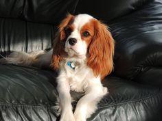 Cavalier King Charles Spaniel Love my Charlie <3