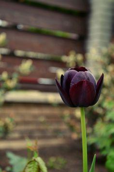 Tulip (: