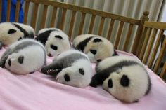 8baby pandas just born in China