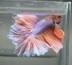 live Tropical Fish-Light orange blue ROSETAIL halfmoon betta S1